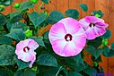 Hibiscus by Marilynne in Plants