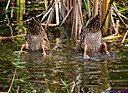 Blue Winged Teal Ducks by Marilynne in Wildlife