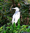 Immature Llittle Blue Heron by Marilynne