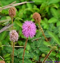 Mimosa pudica by Marilynne in Plants