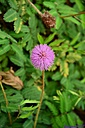 Mimosa pudica by Marilynne