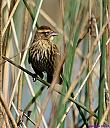Female Red Winged Blackbird by Marilynne