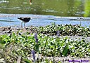 Spotted Sandpiper by Marilynne in Wildlife