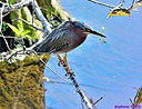 Green Heron by Marilynne