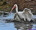 Ibis by Marilynne in Wildlife