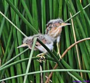 Juvenile Least Bittern by Marilynne in Wildlife