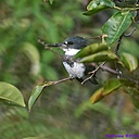 Belted Kingfisher by Marilynne in Wildlife