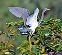 Belted Kingfisher TriColor Heron by Marilynne in Wildlife