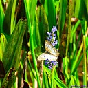 White Peacock Butterfly on Pickerelweed Flower by Marilynne in Critters