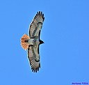 Red Tailed Hawk by Marilynne