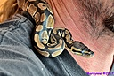 Ball Python by Marilynne in Critters