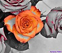 Roses by Marilynne