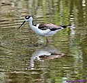 Female Black Necked Stilt by Marilynne in Wildlife