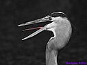 Great Blue Heron by Marilynne in B/W