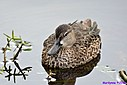 Female Blue Winged Teal by Marilynne in Wildlife