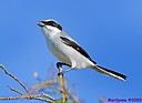 Loggerhead Shrike by Marilynne in Wildlife