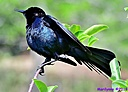 Grackle by Marilynne