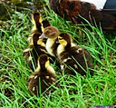 Muscovy Duck and ducklings by Marilynne in Wildlife