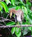 Juvenile Green Heron by Marilynne