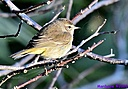 Yellow Rumped Warbler by Marilynne