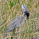 Great Blue Heron Rodent