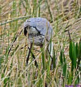 Great Blue Heron Rodent by Marilynne in Wildlife