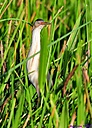 Least Bittern by Marilynne in Wildlife