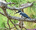 Belted Kingfisher by Marilynne