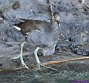 Juvenile Common Gallinule, unshielded by Marilynne in Wildlife