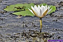 Water Lily by Marilynne in Plants