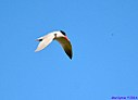 Caspian Tern by Marilynne in Wildlife