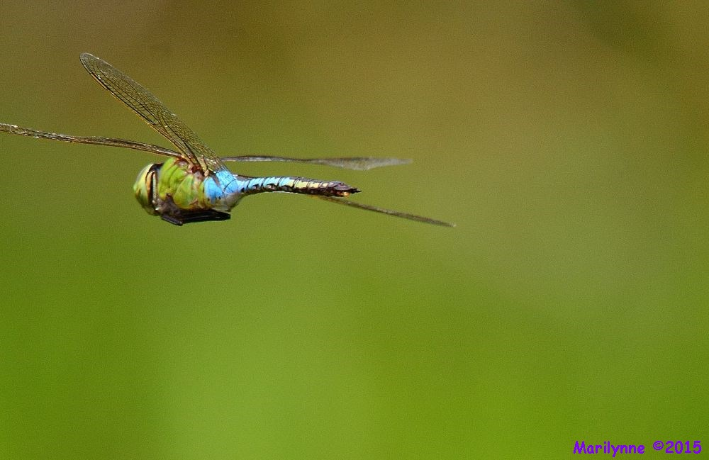 Giant Pondhawk by Marilynne in Critters