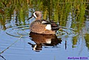 Male Blue Winged Teal by Marilynne in Wildlife