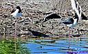 Black Necked Stilt by Marilynne in Wildlife