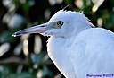 Egret by Marilynne in Wildlife