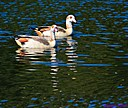 Egyptian Geese by Marilynne
