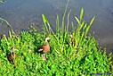 Black Bellied Whistling Duck by Marilynne in Wildlife