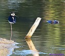 Black Necked Stilt Gator by Marilynne in Wildlife