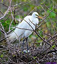Great Egret and her eggs by Marilynne in Wildlife