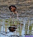 Glossy Ibis by Marilynne