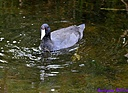 Coot by Marilynne