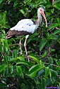Immature Ibis by Marilynne in Wildlife