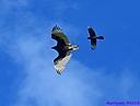 Turkey Vulture Grackle by Marilynne in Wildlife
