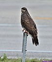 Snail Kite by Marilynne in Wildlife