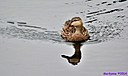 Mottled Ducks by Marilynne in Wildlife