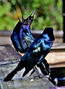 Grackle by Marilynne in Wildlife
