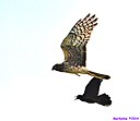 Northern Harrier chased by Grackle by Marilynne