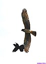Northern Harrier chased by Grackle by Marilynne in Wildlife