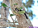 Downy Woodpecker by Marilynne in Wildlife