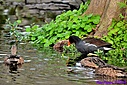 Blue Winged Teal Common Moorhen by Marilynne in Wildlife